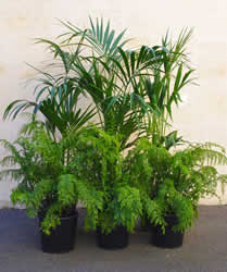 Kentia Palms and Ferns